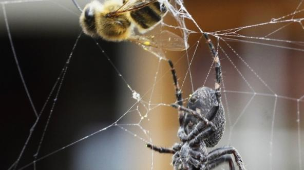 'A garden spider catches a bee in its web in the eastern German city of Hohen Neuendorf on September 11, 2009. AFP PHOTO DDP /  MICHAEL URBAN  GERMANY OUT'