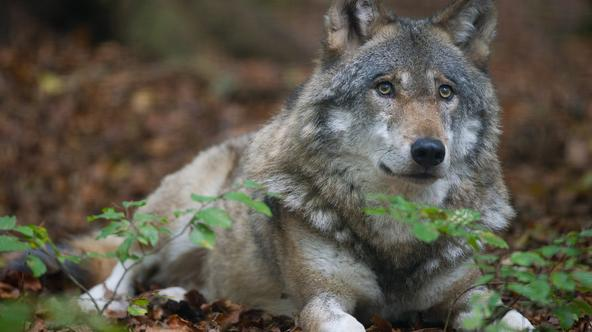 The 12-year-old Wolf Kaunas lays in his compound at the animal park Kunsterspring in Neuruppin, Germany, 20 October 2011. More than 500 animals from an overall 90 species live in their natural surroundings. Photo: Patrick Pleul